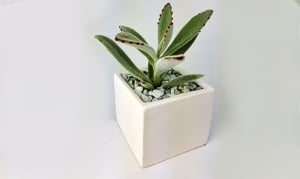 Assorted Succulent in a 3x3 White ceramic cube- Code#: FF0097