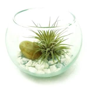 Single Air Plant in 4  Recycled Glass Terrarium- Code#: FF1245