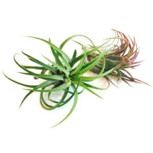 Assorted Air Plants- Code#: FF1271