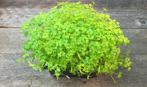 Local Microgreens, Chervil- Code#: PR147738LCN