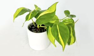 Variegated Philodendron in 4  White Ceramic Cylinder- Code#: FF0067
