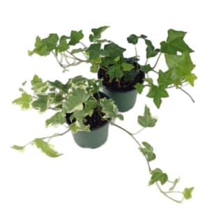 Ivy Plant in 4  Nursery Pot- Code#: FF068