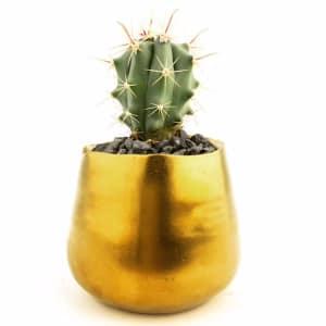 Wee Assorted Cactus in Golden Pot- Code#: FF1244