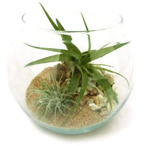 Double Air Plant in 5.5  Recycled Glass Terrarium- Code#: FF1246