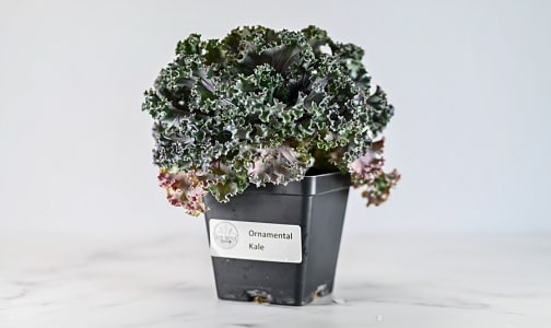 Local Kale, Potted Ornamental- Code#: PR147630LCN