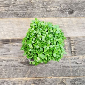 Local Basil, Potted - Small leaf variety- Code#: PR147416LCN