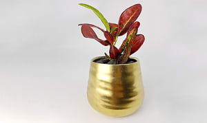 Wee magical tropical in a magical gold pot- Code#: FF0096