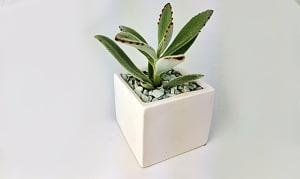 Assorted Succulent in a 3x3 White ceramic cube- Code#: FF0097