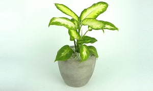Asstorted Tropical Plants in 6 x8  Lightweight Concrete Pot- Code#: FF1260