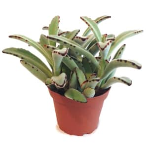 Assorted 4  Succulents in Nursery Pot- Code#: FF1270