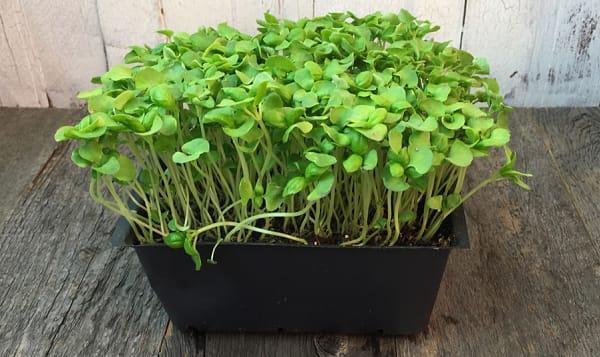 Local Organic Microgreens, Micro Basil